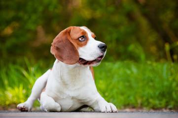 beagle dog lying down outdoors