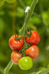 Different ripening stages of tomatoes in a greenhouse