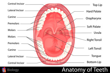Anatomy of Human Denture