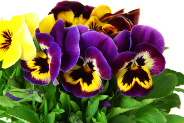 Foto op Aluminium Pansies Beautiful pansies flowers isolated on a white