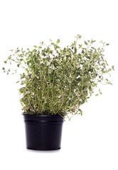 thyme herb plant pot