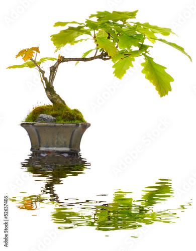 bonsai eiche spiegelung stockfotos und lizenzfreie bilder auf bild 52637406. Black Bedroom Furniture Sets. Home Design Ideas