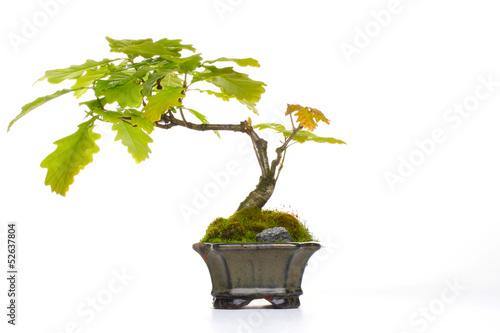 bonsai eiche stockfotos und lizenzfreie bilder auf bild 52637804. Black Bedroom Furniture Sets. Home Design Ideas