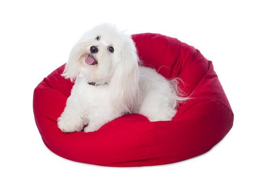 White Dog Lying on Red Bean Bag