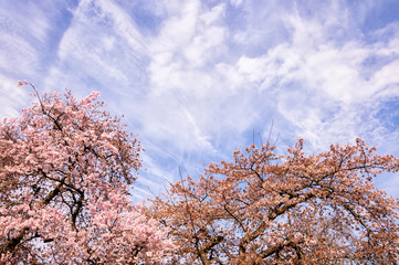 Blossoming tree branches in springtime