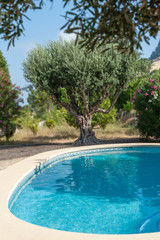 Olive tree by the pool