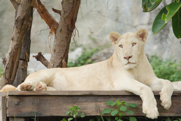 Albino lion lying