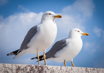 pair of seagull