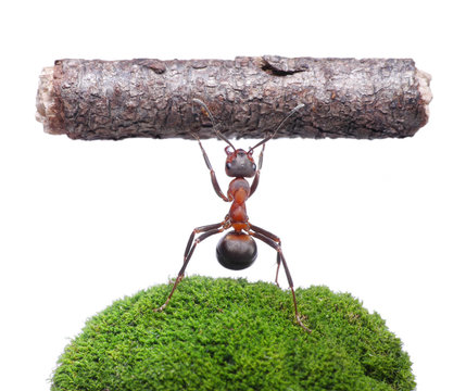 worker ant holding log, isolated on white