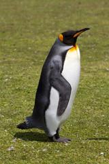 King penguin, Falkland Islands