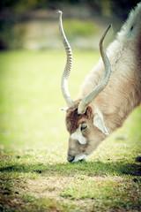 Printed roller blinds Antelope Addax antilope du désert