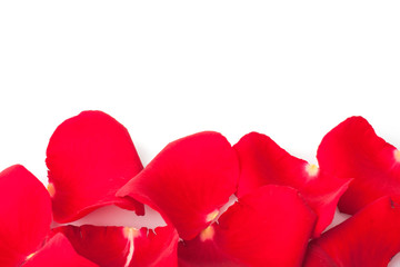 scattered red roses petals on white, festive background