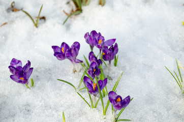 bunch saffron crocus blue spring bloom snow spring