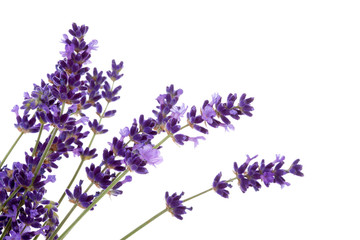 lavender flower in closeup