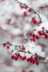 Red winter berries under snow