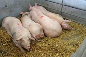 Four Pigs Laying on Straw in a Metal Pen.