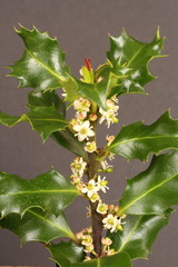 Holly leaves and flowers