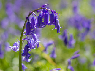 Bluebell close-up