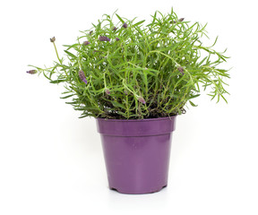 pot with lavender flowers