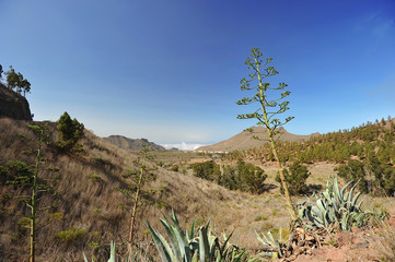 Agave bloom in Tenerife above the clouds