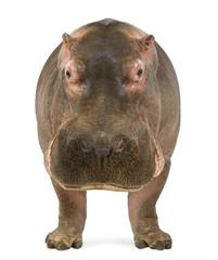 Hippopotamus, Hippopotamus amphibius, facing the camera