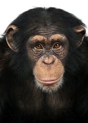 Fotorolgordijn Aap Close-up of a Chimpanzee looking at the camera, Pan troglodytes