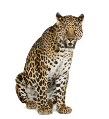 In de dag Luipaard Leopard sitting, roaring, Panthera pardus, isolated on white