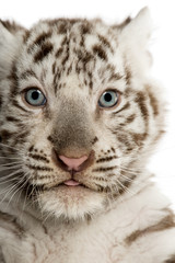 Close-up of a White tiger cub,2 months old