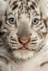 Close-up of a White tiger cub, 2 months old