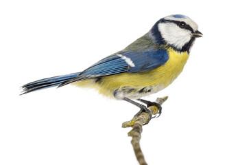Fototapeta premium Boczny widok modraszka przysiadła na gałęzi Cyanistes caeruleus