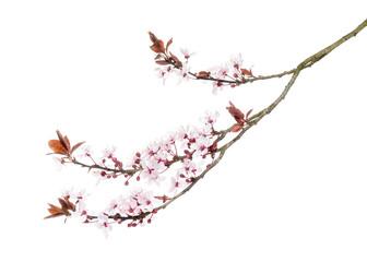 Papiers peints Fleur de cerisier Japanese Cherry branch, isolated on white