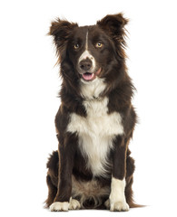 Border Collie sitting, 9 months old, isolated on white