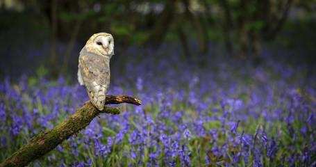 Barn Owl in Bluebell Wood Fototapete