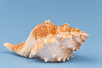 Sea snail on blue background