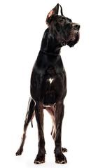 Obraz majestic dog - fototapety do salonu