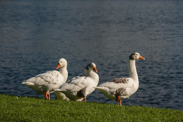 domestic geese on riverbank