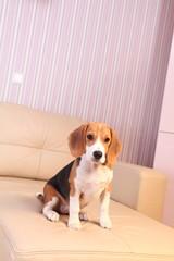 Female Beagle puppy on a white leather sofa