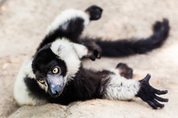 Balck and white lemur on rock