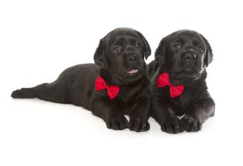 Fotobehang - Black Labrador Retriever Puppy