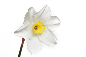 Narcissus on a white background