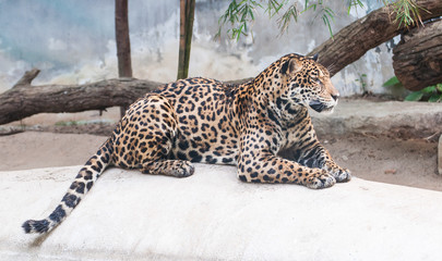 leopard lying on the rocks