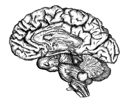 cursory drawing brain on white background