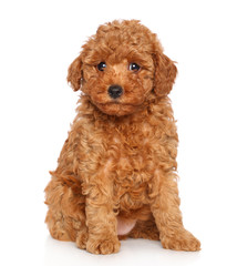 Wall Mural - Poodle puppy on white background