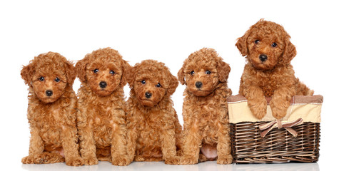 Wall Mural - Poodle puppies with basket
