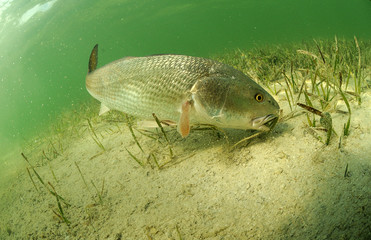 Wall Mural - redfish in ocean