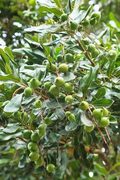 Unripe macadamia nuts hanging on tree