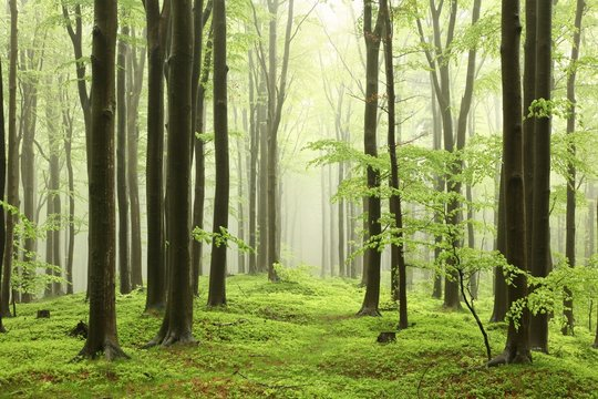 Spring beech forest in rainy, foggy weather