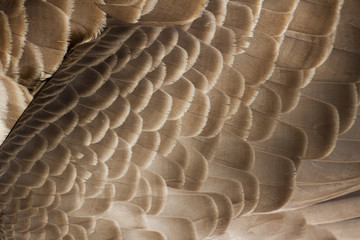 Canada Goose feather