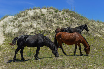 spanish mustangs wild horses on the dunes in north carolina
