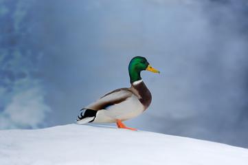 Mallard Duck on Snow Wall mural